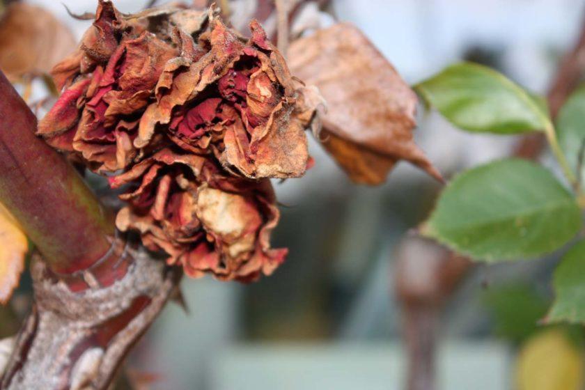 herbst-roseb