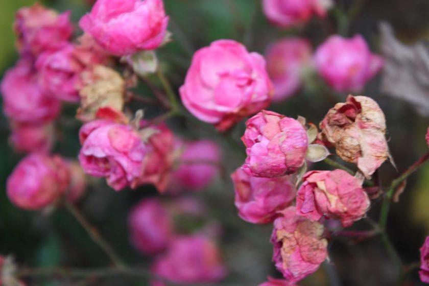 herbst-rosenb